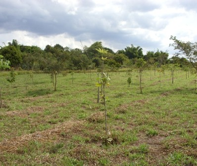 Reflorestamento nativas